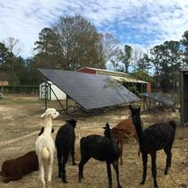 Large Array at an Alpaca farm in Summerville, SC